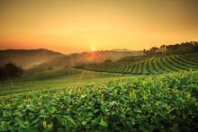 Tea Plantation In Chiang Rai,N...