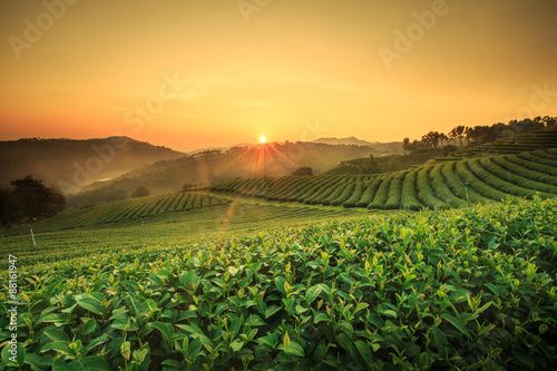 Fotomural Tea Plantation in Chiang Rai,North of Thailand.