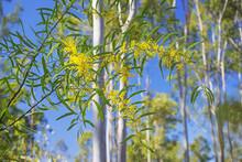 In Spring Australian Golden Wa...