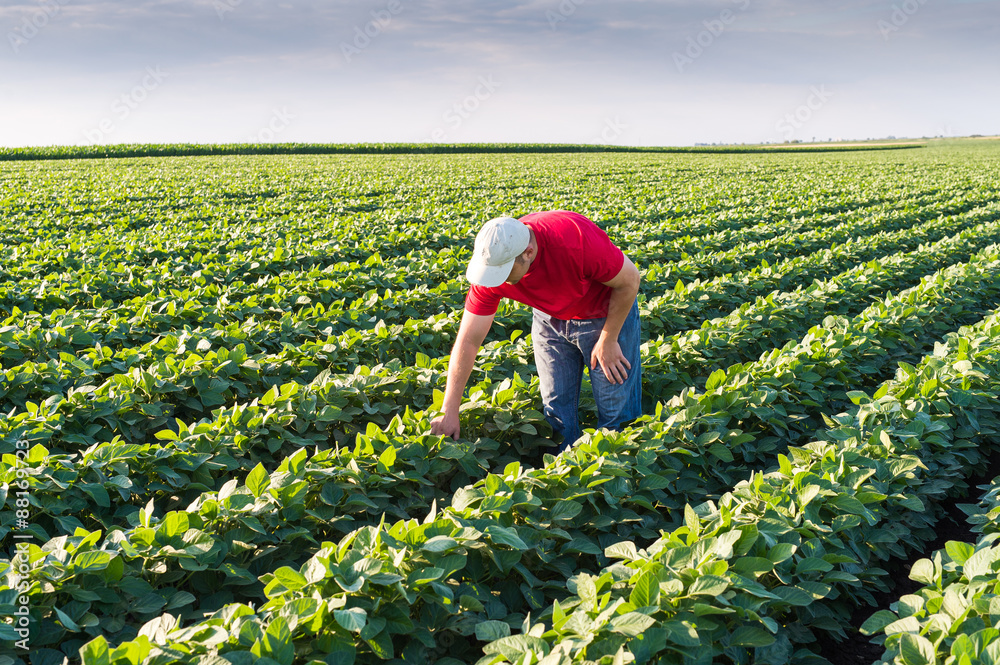 Fototapety, obrazy:  farmer in soybean fields