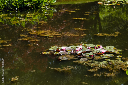 Fotografie, Obraz  Pink Water Lilies on Green Pond