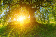 canvas print picture - Sonne strahlt durch die alte Süntelbuche