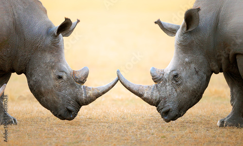 White Rhinoceros  head to head