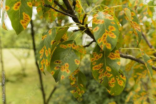 Fotografie, Obraz  Disease gymnosporangium sabinae