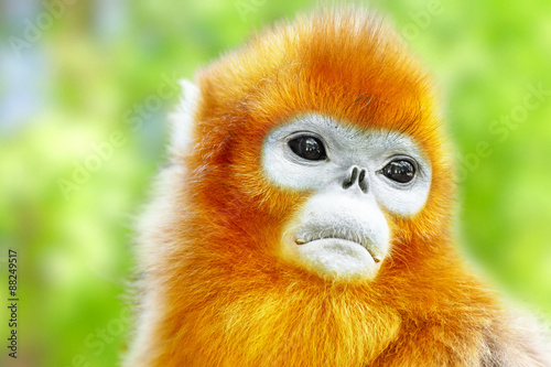 Deurstickers Aap Cute golden Snub-Nosed Monkey in his natural habitat of wildlif