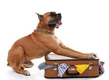 Beautiful Boxer Dog On Suitcase Isolated On White