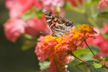 Painted Lady Butterfly Feeds O...
