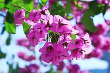 Purple Blooming Bougainvillea In The Garden On A Blue Sky