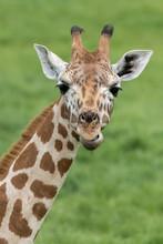 Young Giraffe Headshot, Portra...