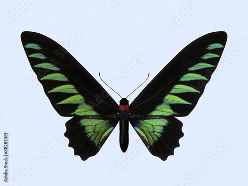 Rajah Brooke's Birdwing - Trogonoptera Brookiana Wallpaper Mural