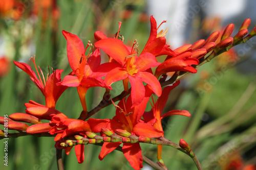 Blütenstand der Garten-Montbretie