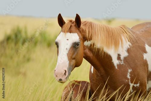 Obraz w ramie Pinto quarter horse mare feeding its colt in a horse farm in Panama