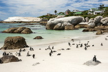 African Penguins On Sand At Foxy Beach With Residential Homes In Background, Boulders Beach National Park, Simonstown