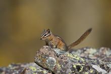 Uinta Chipmunk (Tamias Umbrinus), Uncompahgre National Forest, Colorado
