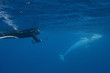 Adult dwarf minke whale (Balaenoptera acutorostrata), underwater with snorkeler near Ribbon 10 Reef, Great Barrier Reef, Queensland, Australia, Pacific