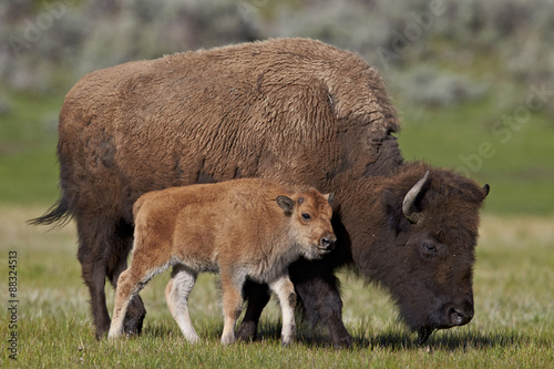 Bison (Bison bison) cow and calf in the spring, Yellowstone National Park, Wyoming, United States of America, North America