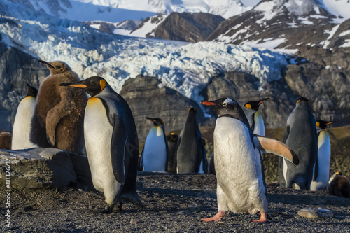 King penguins (Aptenodytes patagonicus), with gentoo penguin (Pygoscelis papua), Gold Harbor, South Georgia, Polar Regions