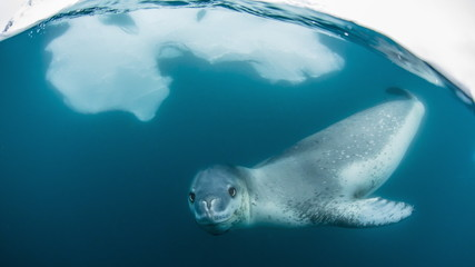 Adult leopard seal (Hydrurg...