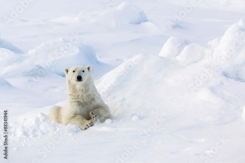 Portrait of polar bear in snow