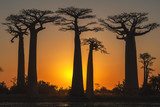 Fototapeta Forest - Baobab trees at sunset, Morondava, Toliara province, Madagascar
