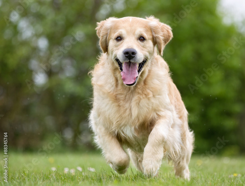 Photo  Golden Retriever dog running outdoors in nature