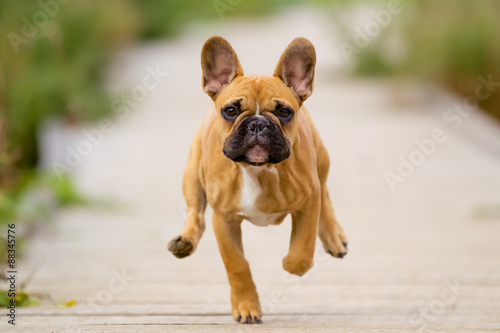 Stickers pour portes Bouledogue français Running French Bulldog Puppy