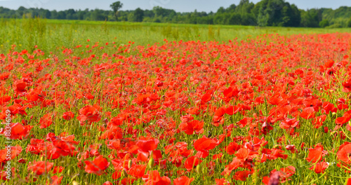 Fotobehang Rood Poppies