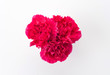 red carnations flower