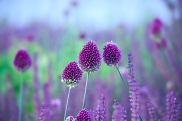 Fototapeta Chive herb flowers - Allium sphaerocephalon on beautiful backgr