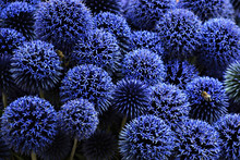 Globe Thistle. Blue Echinops F...