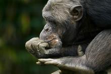Chimpansee Denkt Na.