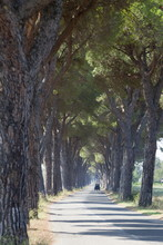 Pine Tree Lined Road With Small Piaggio Three Wheeled Van Travelling Along It, Tuscany