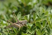 Female White-faced Wartbiter Bush Cricket (Decticus Albifrons), In A Bush, Crete, Greece
