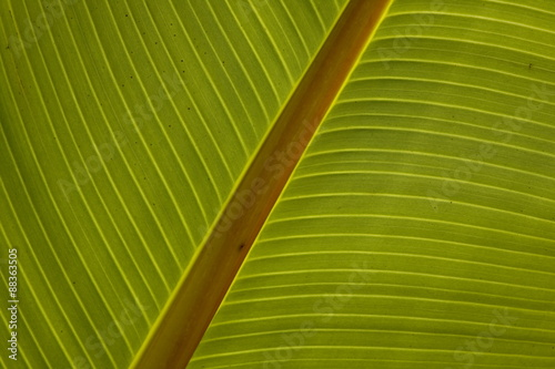 Close-up of plantain leaf #88363505