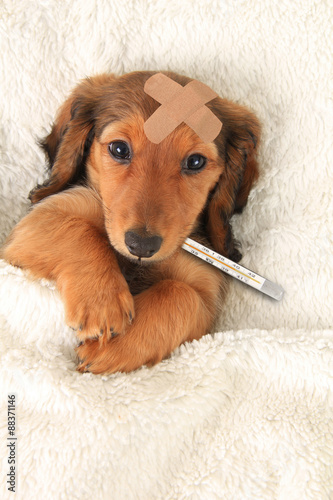 Fotografia  Sick puppy with band aid and thermometer