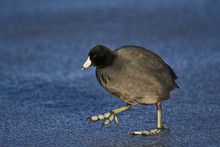 American Coot (Fulica Americana) Walking On Ice, Bosque Del Apache National Wildlife Refuge, New Mexico