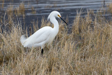 Snowy Egret In Dried Grass On ...