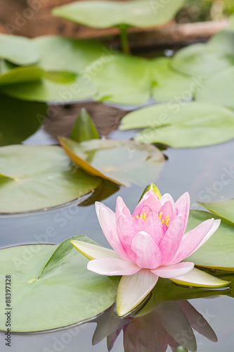 Photo Stands Water lilies White violet water lily lotus flower.