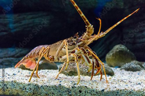 Kolorowy Tropikalny Rockowy homar pod wodą