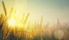Art Golden Wheat Field And Sunny Day