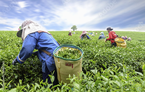 Fotografía Crowd of tea picker picking tea leaf on plantation, Chiang Rai, Thailand