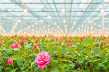 Pink Roses In A Dutch Greenhouse