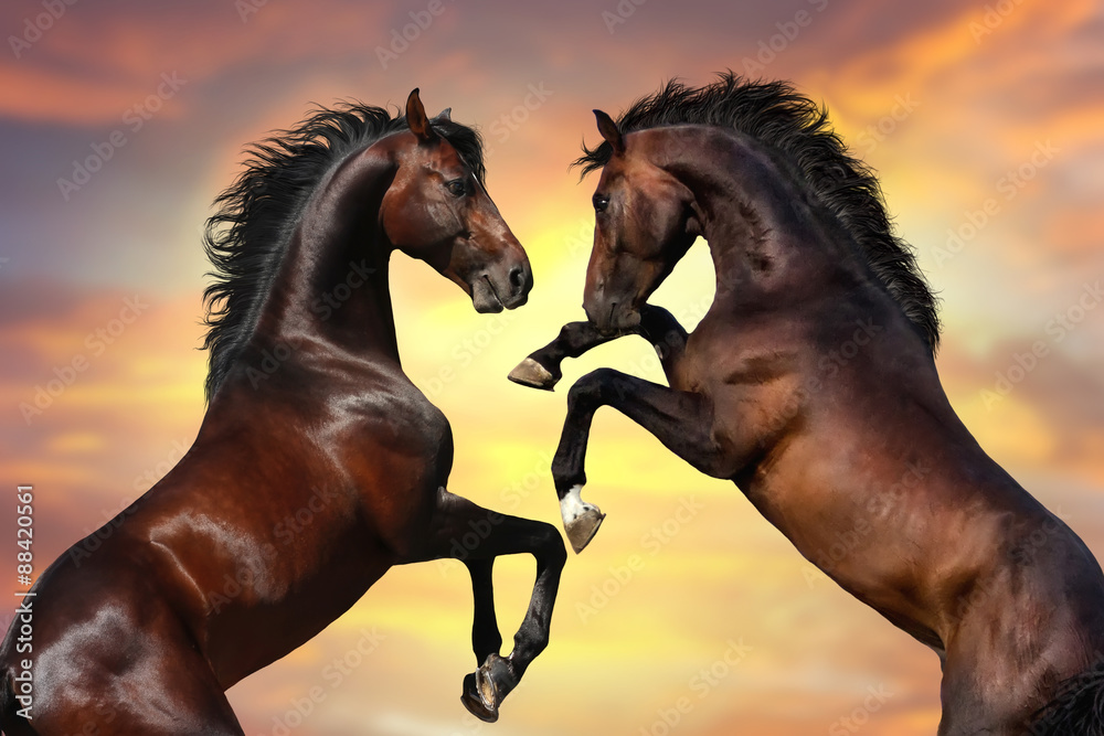 Fototapety, obrazy: Two bay  stallion  with long mane rearing up against sunset sky