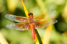 Flame Skimmer (Libellula Saturate) Male Dragonfly Perched On A Stem. Santa Clara County, California, USA
