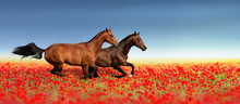 Two Stallion Run Fast In Poppy...