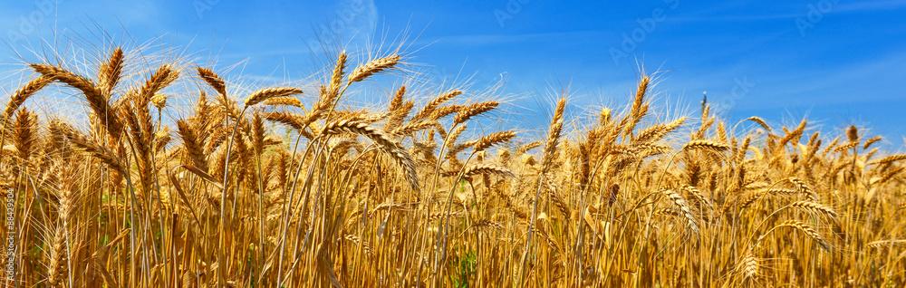 Fototapety, obrazy: Wheat