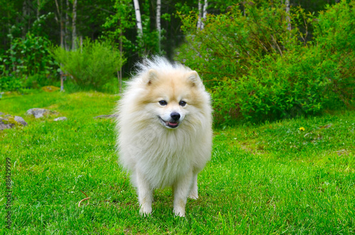 Aluminium Prints Dog Dog German Spitz