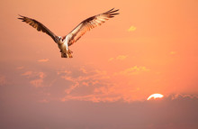 Osprey Flying In The Early Morning Sunrise Sky