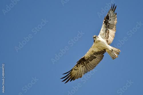Photo  Osprey Flying In A Blue Sky