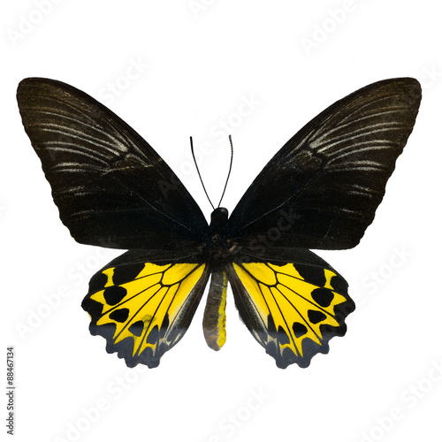 Rajah Brookiana butterfly Wallpaper Mural